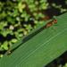 Enallagma pollutum - Photo (c) Dan Irizarry, algunos derechos reservados (CC BY-NC-SA)