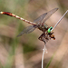 Gray-green Clubtail - Photo (c) Dan Irizarry, some rights reserved (CC BY-NC-SA)