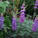 Lupinus albifrons albifrons - Photo (c) Claire Woods, algunos derechos reservados (CC BY-NC-ND)