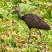 Limpkin - Photo (c) David Monroy R, some rights reserved (CC BY-NC)