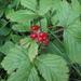 Rubus saxatilis - Photo (c) Ole Husby, algunos derechos reservados (CC BY-SA)