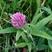 Trifolium alpestre - Photo (c) ahmed m,  זכויות יוצרים חלקיות (CC BY-NC-ND)