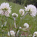 Trifolium montanum - Photo (c) Amadej Trnkoczy,  זכויות יוצרים חלקיות (CC BY-NC-SA)