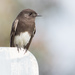 Black Phoebe - Photo (c) Ingrid Taylar, some rights reserved (CC BY)
