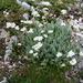 Achillea clavennae - Photo (c) Nicholas Turland, algunos derechos reservados (CC BY-NC-ND)