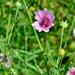 Althaea cannabina - Photo (c) bathyporeia, μερικά δικαιώματα διατηρούνται (CC BY-NC-ND)