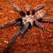 Chilobrachys fimbriatus - Photo (c) Tom M., algunos derechos reservados (CC BY)