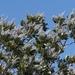 Ceanothus arboreus - Photo (c) James Bailey,  זכויות יוצרים חלקיות (CC BY-NC)