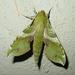 Xylophanes pluto - Photo (c) pondhawk, algunos derechos reservados (CC BY)