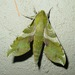 Xylophanes pluto - Photo (c) pondhawk,  זכויות יוצרים חלקיות (CC BY)