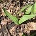 Allium tricoccum tricoccum - Photo (c) Jeff Skrentny, algunos derechos reservados (CC BY-NC)