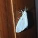 Aruta puncticilia - Photo (c) mavoottan, algunos derechos reservados (CC BY-NC)