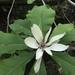 Magnolia tripetala - Photo (c) Eric Soehren, algunos derechos reservados (CC BY-NC)
