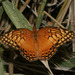 Euptoieta hegesia - Photo (c) Bill Bouton,  זכויות יוצרים חלקיות (CC BY-NC)