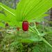 Streptopus amplexifolius - Photo (c) 116916927065934112165, algunos derechos reservados (CC BY-SA), uploaded by Matt Muir