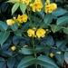 Senna septemtrionalis - Photo (c) naturewatchwidow,  זכויות יוצרים חלקיות (CC BY)