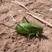 Mormon Cricket - Photo (c) Jesse Varner, some rights reserved (CC BY-NC-SA)