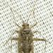 Phytocoris stitti - Photo (c) robirdman, osa oikeuksista pidätetään (CC BY-NC)