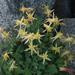 Aquilegia pubescens - Photo (c) Tom Hilton, algunos derechos reservados (CC BY), uploaded by tomhilton