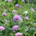 Knautia drymeia - Photo (c) Du-Sa-Ni-Ma, alguns direitos reservados (CC BY-NC)