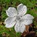Nemophila menziesii atomaria - Photo (c) dgreenberger, algunos derechos reservados (CC BY-NC-ND)
