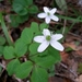 Gray's Anemone - Photo (c) dgreenberger, some rights reserved (CC BY-NC-ND)