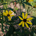 Tall Coreopsis - Photo (c) F. D. Richards, some rights reserved (CC BY-SA)
