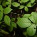 Rubus satis - Photo Ningún derecho reservado