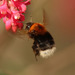 Tree Bumble Bee - Photo no rights reserved