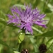Brown Knapweed - Photo (c) Mauricio Mercadante, some rights reserved (CC BY-NC-SA)