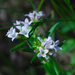 Houstonia longifolia - Photo (c) Joshua Mayer,  זכויות יוצרים חלקיות (CC BY-SA)