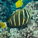 Pacific Sailfin Tang - Photo (c) 104623964081378888743, some rights reserved (CC BY-NC), uploaded by David R