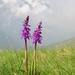 Orchis mascula speciosa - Photo (c) Apollonio Tottoli, algunos derechos reservados (CC BY-NC-ND)