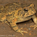 Fowler's and Woodhouse's Toads - Photo (c) Matthew L. Niemiller, some rights reserved (CC BY-NC)