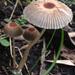 Parasola auricoma - Photo (c) Damon Tighe, alguns direitos reservados (CC BY-NC)