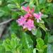 Rhododendron hirsutum - Photo (c) Stefano, algunos derechos reservados (CC BY-NC-SA)