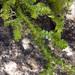 Selaginella helvetica - Photo (c) Amadej Trnkoczy, algunos derechos reservados (CC BY-NC-SA)