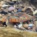 Etheostoma osburni - Photo (c) plawrynpx, algunos derechos reservados (CC BY-NC)