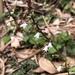 Salvia hayatae - Photo (c) Cheng-Tao Lin,  זכויות יוצרים חלקיות (CC BY)