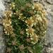 Teucrium montanum - Photo (c) Wildlife Travel, algunos derechos reservados (CC BY-NC-SA)