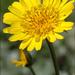 Tragopogon orientalis - Photo (c) Amadej Trnkoczy, algunos derechos reservados (CC BY-NC-SA)