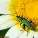 Oedemera - Photo (c) Valter Jacinto, some rights reserved (CC BY-NC-SA)