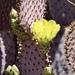 Nopal de Santa Rita - Photo (c) CK Kelly, algunos derechos reservados (CC BY)