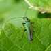 Thick-legged Flower Beetle - Photo (c) Cécile Bassaglia, some rights reserved (CC BY-NC-SA)