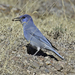 Pinyon Jay - Photo (c) Jerry Oldenettel, some rights reserved (CC BY-NC-SA)