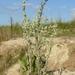 Filago arvensis - Photo (c) BerndH, algunos derechos reservados (CC BY-SA)