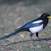 Yellow-billed Magpie - Photo (c) Aaron Maizlish, some rights reserved (CC BY-NC)