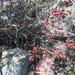 Calliandra conferta - Photo (c) Maura Thoenes, osa oikeuksista pidätetään (CC BY-NC)