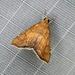 Aethiophysa dualis - Photo (c) Ben Hutchins,  זכויות יוצרים חלקיות (CC BY-NC)