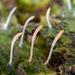 Multiclavula - Photo (c) Alden Dirks, algunos derechos reservados (CC BY-NC)